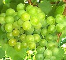 3 Cuttings of Seedless Summer Muscat Grape Vine, Delicious Grapes, Zones 7 -11