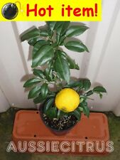 SUPER RARE,YUZU,GRAFTED,Citrus,Spice,Herb,Fruit Tree,Antioxidant,Chinese,Flower
