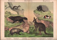 1886 Belle lithographie originale kangourou glouton blaireau animaux gravure
