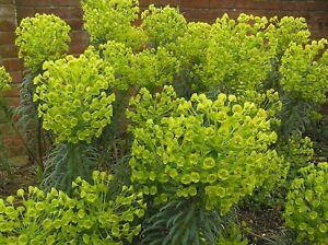 Euphorbia characias subsp. wulenii - 3 PLUG PLANTS - FREE POSTAGE