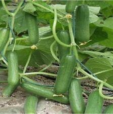 15 Samen Mini Gurke, ertragreich, frühe Ernte, resistent