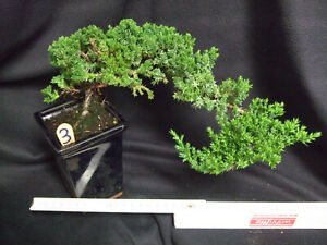 Outdoor Bonsai // chinesischer Wacholder / Juniperus chinensis (3) 2005  1-83857