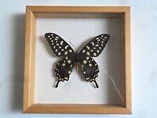 WEIHNACHTSGESCHENK: Schaukasten Schmetterling hinter Glas Gr.3: PAPILIO ANTENOR