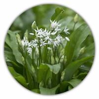 Bärlauch / Waldknoblauch - 50 Samen