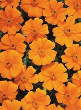 50 Marigold Seeds French Disco Orange PLANT SEEDS