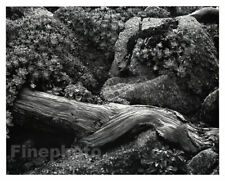 1941 Vintage California POINT LOBOS Cypress Tree Wood Photo Art By EDWARD WESTON