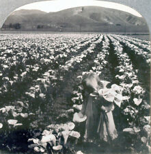 Keystone Stereoview a Large Field of Calla Lillies in Southern California #13538