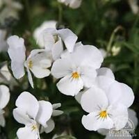 Viola- White Perfection- 50 Seeds- BOGO 50% off SALE