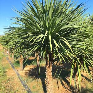 Cordyline australis-Cabbage Palm Plant in 9 cm pot