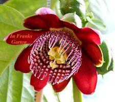 Passiflora alata @ Passionsblume @ essbare Früchte @ Kletterpflanze @ 5 Samen