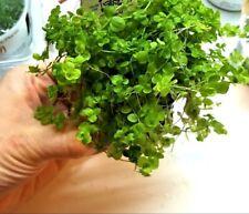 """AQUASCAPE  Micranthemum sp. """"Montecarlo""""  VORDERGRUND BODENDECKER WASSERPFLANZEN"""