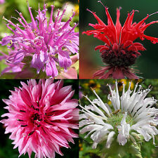 60 BERGAMOT SEEDS MONARDA MIX RARE MEDICINAL PERENNIAL HERB BEE BALM NATIVE USA
