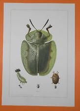 Verte Bouclier Coccinelle (Cassida Viridis) Coccinelle Insectes impression couleur 1956