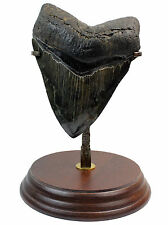Megalodon Tooth M4 Fossil 3.6 Inches