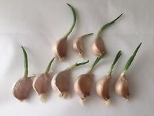 10 Cloves GARLIC With STEM & SHOOTS For Planting/seeds/bulbs Solent Wight Hardy