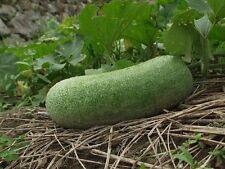 """7 SEMI- Zucca di cera"""" Benincasa hispida white gourd, wax gourd"""""""