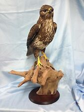 Taxidermy Common Buzzard -  Buteo buteo