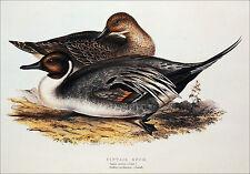CHASSE - CANARD PILET (ANAS ACUTA, Linnée) - Belle planche en couleur