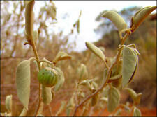 RARE 5 graines de TOMATE DU BUSH (Solanum Centrale)KUTJERA K10 BUSH TOMATO SEEDS