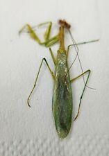 Mantodea, praying mantis species, China