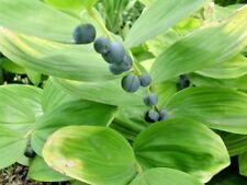 polygonatum in Plants, Seeds & Bulbs | eBay