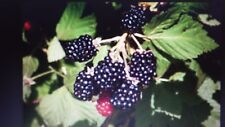 Wild Blackberry vines. Delicious edible fruit. Simple to grow. Maintenance free.