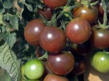 tomate cerise  BIO Black Cherry 30 graines   mon jardin potager Bretagne 9
