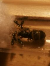 Lasius Niger Queen with 1 - 3 workers