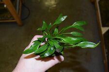 Cryptocoryne lutea (Rare Aquatic Plant)