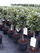 Cold H3 (-5 to 1 ° C) Hardiness Trees