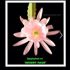 1 Epiphyllum Orchid Cactus Desert Haze1Cutting. 6 To 7� Long Lt. Pink With Green