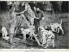 DALMATIAN DOGS IN TRAINING OLD ORIGINAL DOG PRINT PAGE FROM 1934