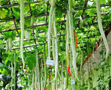 4 Serpent Melon Seeds Trichosanthes Snake Gourd Organic Vegetables B035
