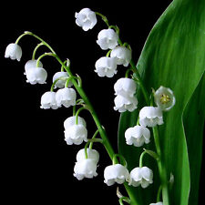 3 graines de MUGUET DE MAI (Convallaria Majalis)H165 LILY OF THE VALLEY SEEDS