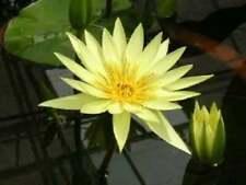 Yellow Lotus Nymphaea Eldorado Asian Water Lily Pad Flower Pond10 SeedsFree Ship