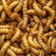 Live Giant Mealworms 100 to 5000 - Free Delivery