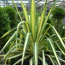 Yucca filamentosa Color Guard-Adam's Needle Plant in 3.5 '' pot