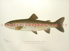 STEELHEAD SALMON TROUT ~ 1895 Sherman Denton Color Game Fish Art Print VERY RARE