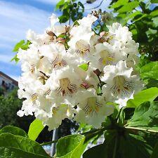 30 Samen Gewöhnlicher Trompetenbaum - Catalpa bignonioides - winterhart - seeds