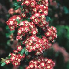 Crataegus laevigata Crimson Cloud Tree 12 litre Pot  Standard Feather Tree