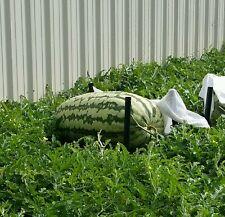 229 lb giant watermelon seeds - Carolina Cross