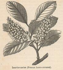 C8335 Prunus lauro-cerasus - Stampa antica - 1892 Engraving