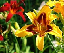 25 Various Daylily Seeds