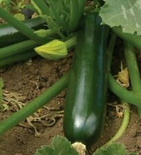 ZUCCHINI SEEDS 20+ BLACK BEAUTY SQUASH Vegetables COOKING culinary FREE SHIPPING