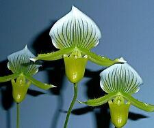 Paphiopedilum ´White Green Maud.´ blühstark XL Orchidee Orchideen