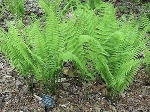 5 Christmas Ferns Polystichum acrostichoides Bare Roots Beautiful Ferns