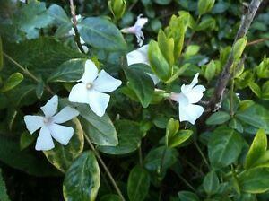 3 X Vinca Minor 'Alba' Lesser Periwinkle Evergreen bare root offsets