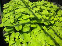 PAULOWNIA TOMENTOSA Offerta Offer 40 piante Paulonia visita paulowniamdb