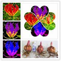 New Flame Lilies Bulbs Not Seeds Rare Flower Balcony Plant,6Pcs,Hot,FREE SHIP US