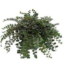 """Plant Button Fern Pellaea rotundifolia Unusual Easy to Grow - 4"""" Pot houseplan"""